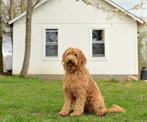 Goldendoodle Dog Breeder in LINWOOD,  USA