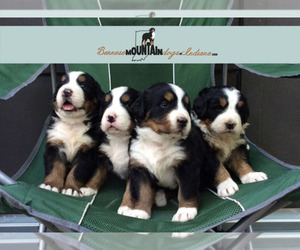 Main photo of Bernese Mountain Dog Dog Breeder near COLUMBUS, IN, USA