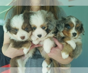 Main photo of Miniature Australian Shepherd Dog Breeder near POPLARVILLE, MS, USA