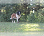 Saint Bernard Breeder in MACEDONIA, IL, USA