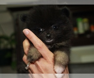 Main photo of Pomeranian Dog Breeder near SMITHVILLE, TX, USA