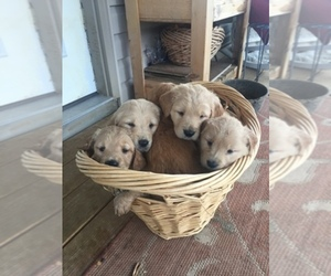 Golden Retriever Breeder in RICHLAND, MO