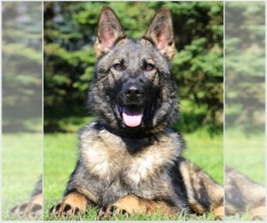 Main photo of German Shepherd Dog Dog Breeder near ATLANTA, GA, USA