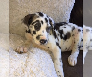 Great Dane Breeder in MOUNT JULIET, TN