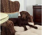 Labrador Retriever Breeder in WINDER, GA, USA