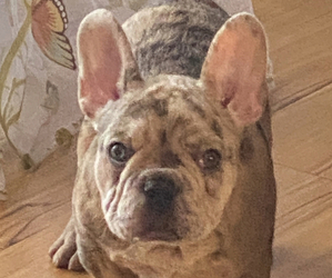 French Bulldog Dog Breeder in BYRON CENTER,  USA
