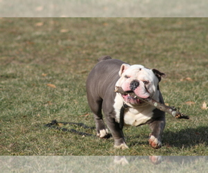 Olde English Bulldogge Breeder in AKRON, OH, USA