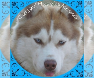 Main photo of Siberian Husky Dog Breeder near QUINLAN, TX, USA