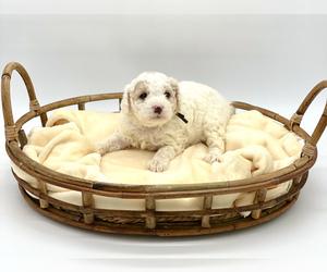 French Bulldog Dog Breeder in MAGNOLIA SQ,  USA