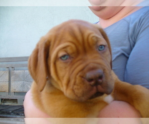 Dogue de Bordeaux Breeder in GALT, CA