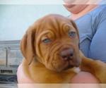 Dogue de Bordeaux Breeder in GALT, CA