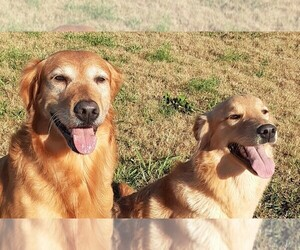 Golden Retriever Dog Breeder in SENECA,  USA