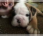Bulldog Breeder in BISMARCK, ND, USA