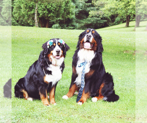 Bernese Mountain Dog Dog Breeder in ROCK CREEK,  USA