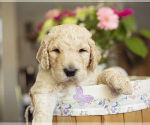 Goldendoodle-Poodle (Standard) Mix Dog Breeder in CITRUS HEIGHTS,  USA