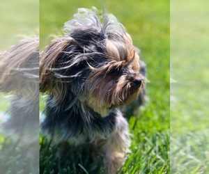 Main photo of Yorkshire Terrier Dog Breeder near CHINO, CA, USA