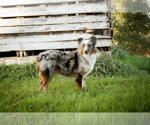 Miniature Australian Shepherd-Poodle (Toy) Breeder in EASTMAN, WI