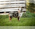 Miniature Australian Shepherd-Poodle (Toy) Breeder in EASTMAN, WI