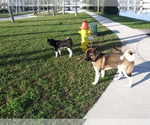 Akita Dog Breeder near DAYTONA BEACH, FL, USA