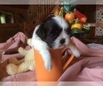 Shih Tzu Breeder in INMAN, SC, USA