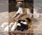 Goldendoodle Breeder in HERMITAGE, TN, USA