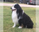 Miniature Australian Shepherd Breeder in FLETCHER, OK, USA