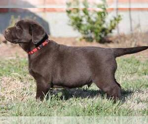 Labrador Retriever Breeder in WHITEWRIGHT, TX, USA