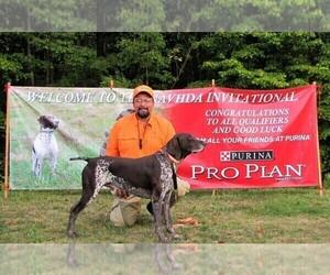Main photo of German Shorthaired Pointer Dog Breeder near BLMGTN, IN, USA