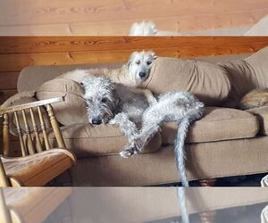 Irish Wolfhound Dog Breeder in BURNS TOWNSHIP,  USA