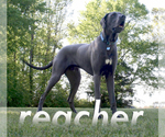 Great Dane Breeder in ABBEVILLE, MS, USA