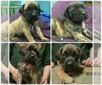 Mastiff Breeder in ATWATER, OH, USA