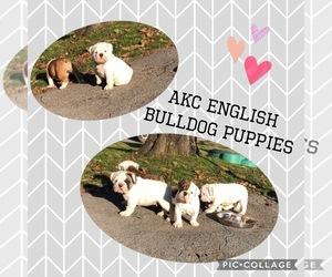 Main photo of Bulldog Dog Breeder near MILLBACH, PA, USA
