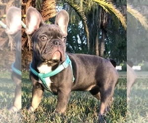 French Bulldog Dog Breeder in OCALA,  USA
