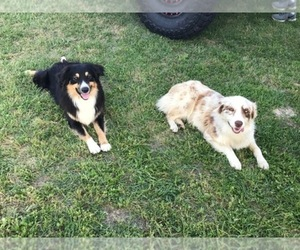Australian Shepherd Breeder in ARP, TX, USA