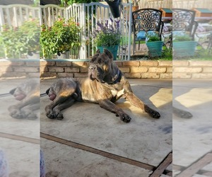 Main photo of Cane Corso Dog Breeder near POMONA, CA, USA