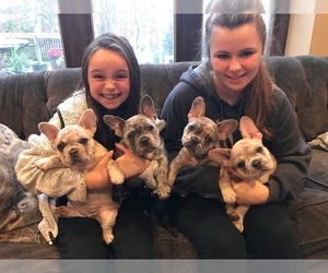 Main photo of French Bulldog Dog Breeder near RICHFIELD, OH, USA