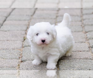 Coton de Tulear Breeder in WAUKEGAN, IL, USA