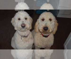 Goldendoodle Breeder in MCKINNEY, TX