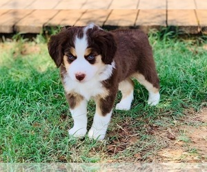 Miniature Australian Shepherd Dog Breeder in BROCK,  USA