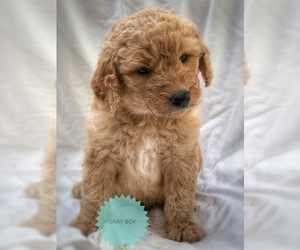 Main photo of Goldendoodle Dog Breeder near PHILOMATH, OR, USA