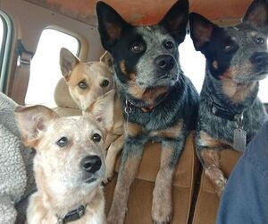 Australian Cattle Dog Dog Breeder near EAGLE, NE, USA