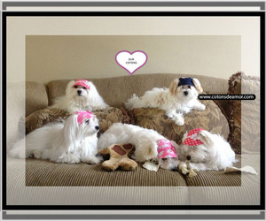 Coton de Tulear Breeder in SAN JOSE, CA, USA