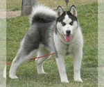 Siberian Husky Breeder in GRISWOLD, IA, USA