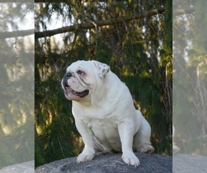 Bulldog Breeder in Burlington, WI