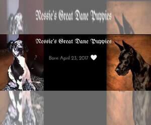 Great Dane Breeder in RIVERVIEW, FL