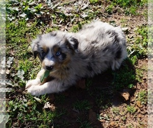 Main photo of Australian Shepherd Dog Breeder near SAN ANTONIO, TX, USA