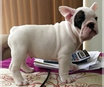 French Bulldog Breeder in TAMPA, FL