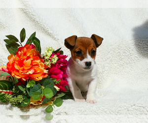 Jack Russell Terrier Dog Breeder in SANDOWN,  USA