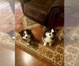 Australian Shepherd Dog Breeder in TANEYVILLE,  USA