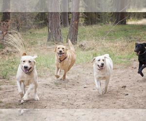 Labrador Retriever Dog Breeder in BURIEN,  USA